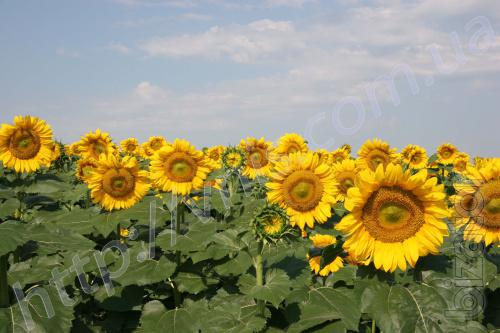 Sunny mood (98 - 103 DN) Hybrid resistant to Granstar