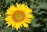 + (105 - 108 days) The hybrid is tolerant to Granstar