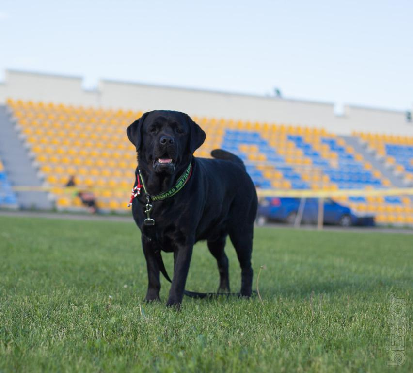 Offered for breeding male Labrador Retriever - other on ...