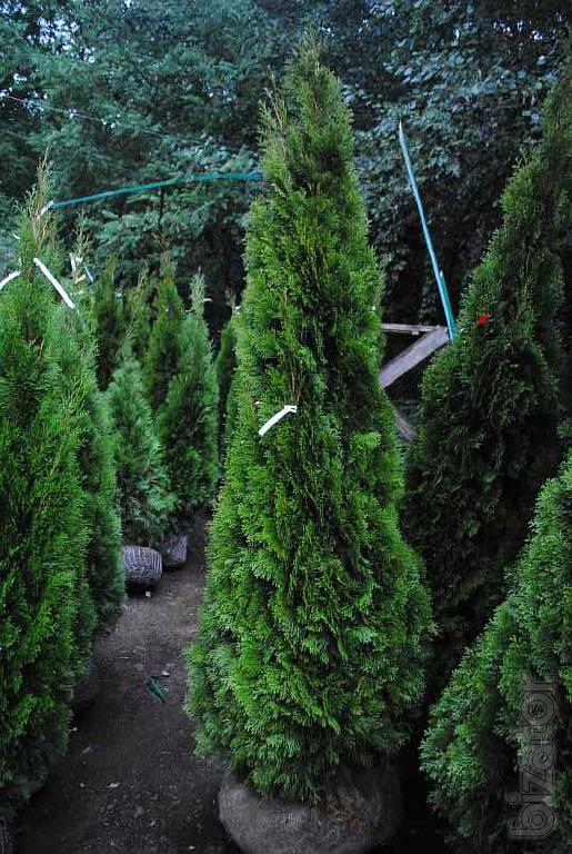 Thuja occidentalis buy