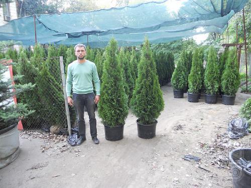 Thuja occidentalis Smaragd 130, 150, 190, 210, 230 cm Kiev to buy.