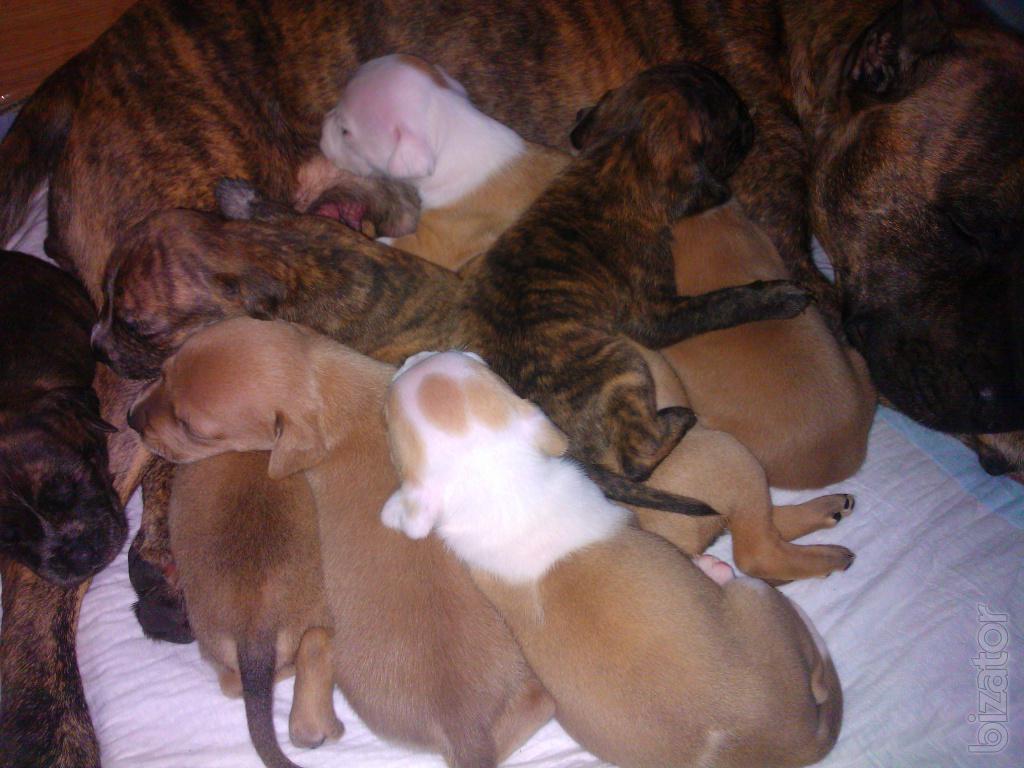 Puppies am Staffie - Buy on www.bizator.com