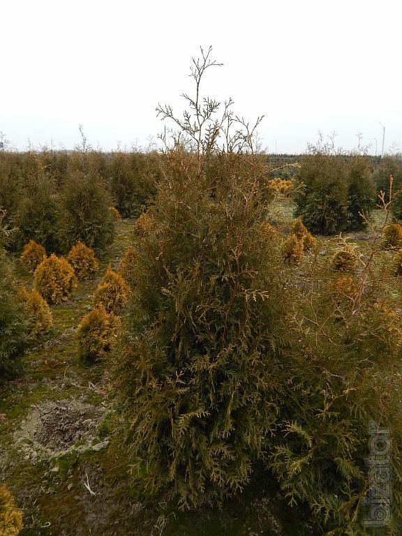 arborvitae thuja kiev to buy thuja brabant hedges. Black Bedroom Furniture Sets. Home Design Ideas