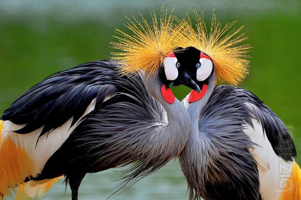 sell cranes decorative cranes crowned cranes ibis buy. Black Bedroom Furniture Sets. Home Design Ideas