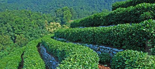 Tea plantation in Tibet