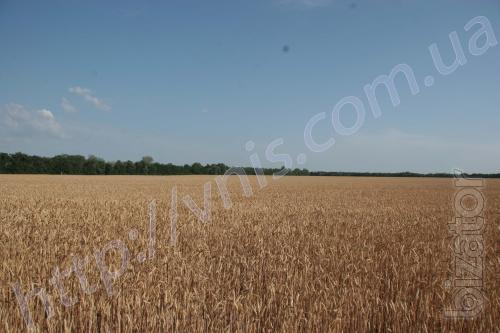 Winter wheat Artemis,Part,Triticale Alcide