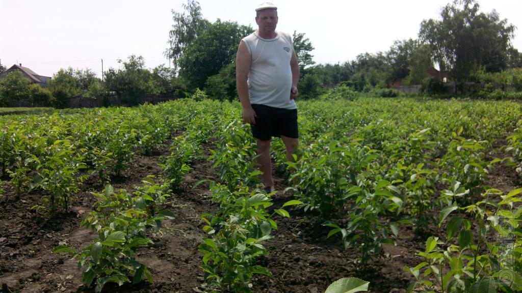 Выращивание на даче фундука 72
