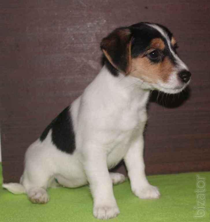Girl Jack Russell Terrier tricolor - Buy on www.bizator.com