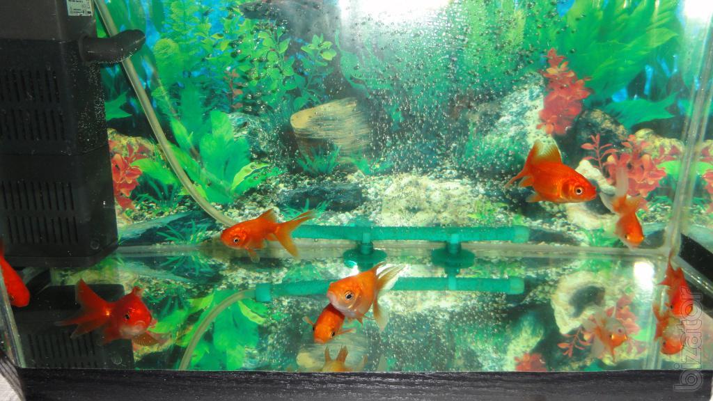 Самая простая аквариумная рыбка