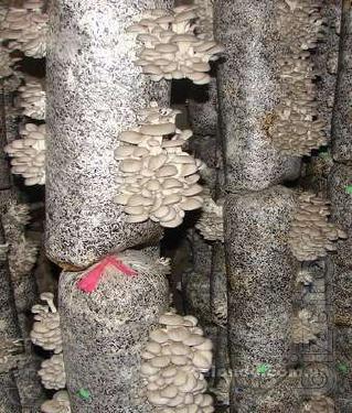 Arrange mushroom greenhouse (oyster) , profitability more