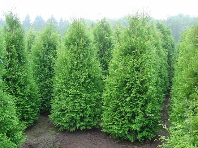 sell thuja occidentalis globose thuja occidentalis. Black Bedroom Furniture Sets. Home Design Ideas