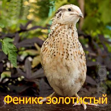 We sell quail hatching eggs breed Golden Phoenix
