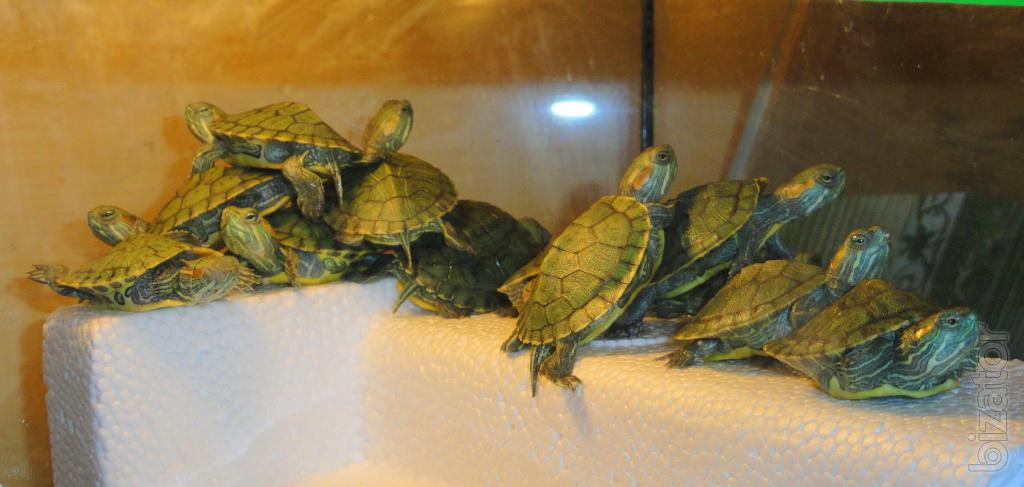 Красноухая черепаха разведение