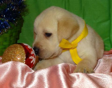 In the sale of kennel Labrador puppies fawn colour  Documents KSU-FCI