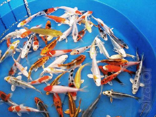 Japanese koi farm koi carp online store pet shop wholesale for Bulk koi for sale