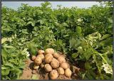 New potatoes from the field