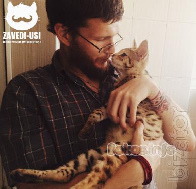 Savannah F1 cats at home