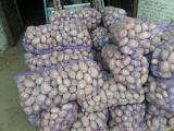 Potatoes wholesale 9 RUB/kg