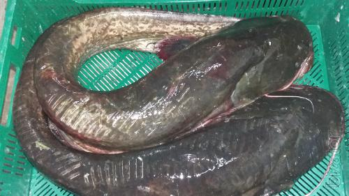Sell wholesale river fish in the range