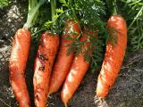 Sell carrots in bulk, from the manufacturer.