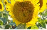 Sunflower seeds OLM KL(RAGT) Euro-lightning