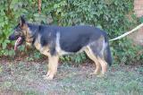 sell German shepherd puppies