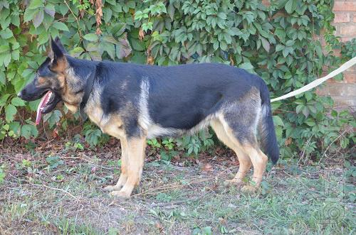 sell German shepherd puppies