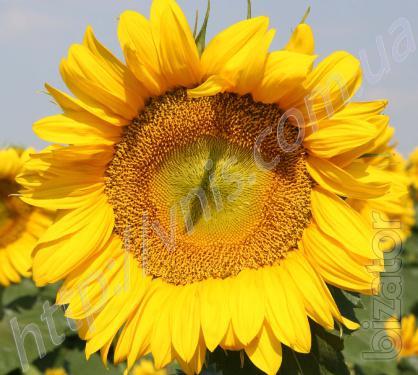 Sunflower Zagrava
