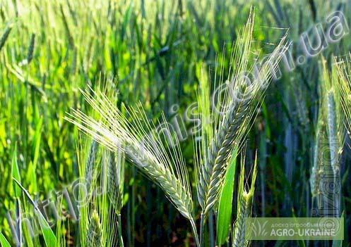 Spring barley Patrician(elite)