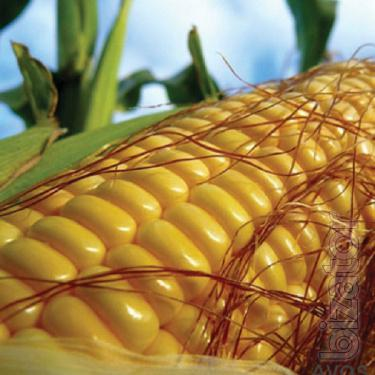 Corn Amarok
