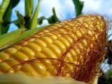 Maize hybrid BH 63
