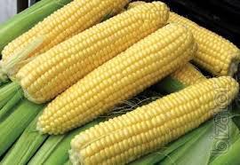 Corn seed Dubox