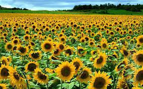 Sunflower seeds Kaluga