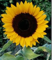 Sunflower seeds of Seller
