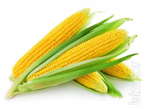 Corn seeds MCX