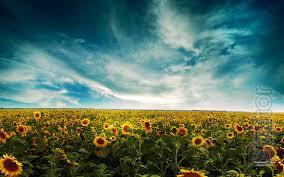 Sunflower seeds Bellus