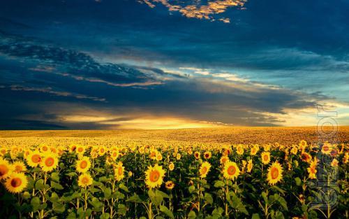 Sunflower seeds Gelagert