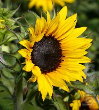 Sunflower seeds Voltage
