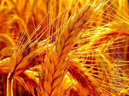 Buy wheat 2,3,4,5,6 classes constantly from farmers and first middlemen, all over Ukraine!!!