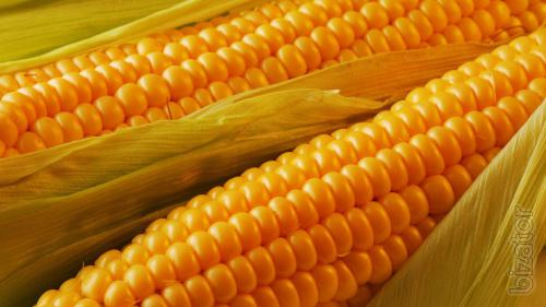 Produce the purchase of Corn at a Good Price on the whole territory of Ukraine!!!