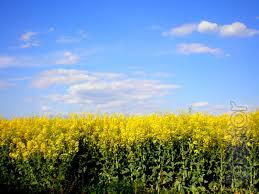 The company will Purchase Canola non-GMO, at a Good Price on the whole territory of Ukraine!!!