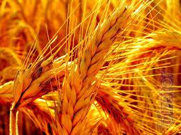 We buy Barley at a Good Price on the whole territory of Ukraine!!!
