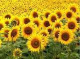 Purchase sunflower !