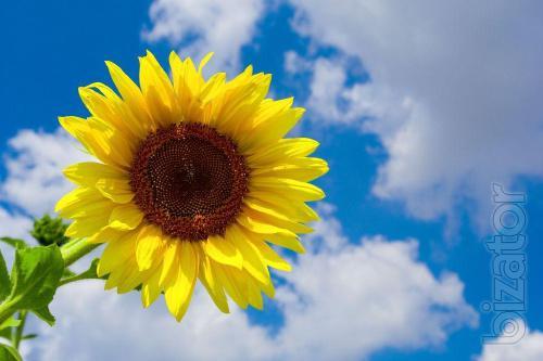 Sunflower seeds Siren MS(110-112 days)
