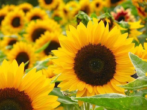 Sunflower seeds Lakomka