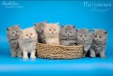 British longhair kittens buy