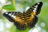 Exquisite Live Butterflies from Indonesia