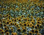 Quality seed of sunflower