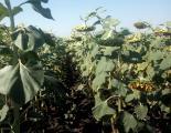 Sunflower seeds Hard