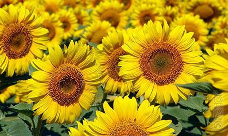 seeds of sunflower hybrid - Soltan